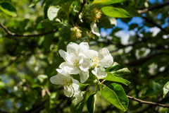 White flowers of apple trees spring landscape Stock Photos