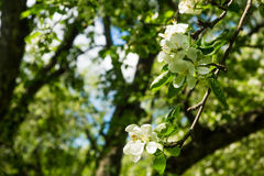 White flowers of apple trees spring landscape Royalty Free Stock Images
