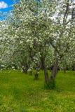 White flowers of apple trees spring landscape Stock Image