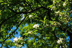 White flowers of apple trees spring landscape stock photography