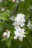 White flowers on appletree. In spring Stock Photography