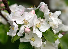 White flowers on appletree. In spring Stock Photo