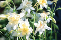 White flowers of aquilegia Stock Images