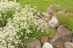 White flowers Arabis or rockcress on a rocky hill in the garden Stock Images