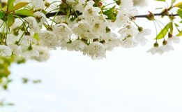 White flowers as background. Stock Images