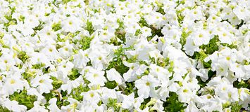 White flowers background Royalty Free Stock Image