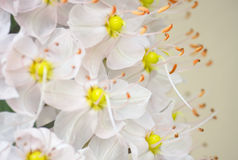 White  flowers background. White  flowers with orange stamen background Stock Image