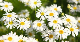 White flowers. A background of White flowers Royalty Free Stock Images
