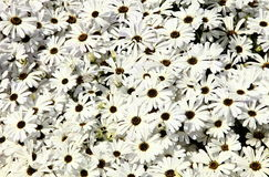 White flowers. A background of White flowers Stock Images