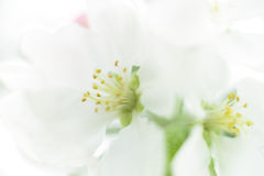 White flowers background Stock Image
