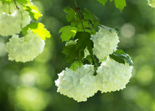 White flowers. On a background of green leaves Royalty Free Stock Photo