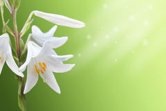 White flowers background. White lily on a green background Stock Image