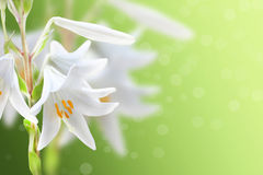 White flowers background. White lily on a green background Royalty Free Stock Photo