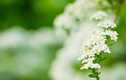 White flowers Stock Photo