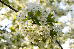 White flowers on banch. White flowers of cherry-tree on banch with blurred flowers and banches on background, close-up stock images