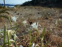 White flowers on the beach. island of Corfu. Greece. Sea. Summer. Blue sky. stock photos