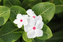 White flowers. Are so beautiful Royalty Free Stock Photography