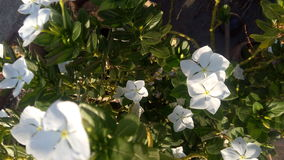 White flowers. Beautiful white flowers Stock Images