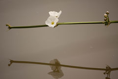 White flowers. Beautiful White flowers in the pool royalty free stock images