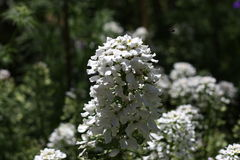 White flowers with bee Royalty Free Stock Photos