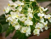 White flowers begonias Stock Photo