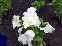 white flowers bells beautiful background royalty free stock images