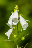 White flowers bells Royalty Free Stock Photos