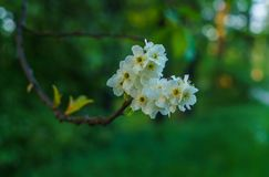 White flowers of bird cherries in early spring stock image