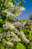 Blooming bird cherry against the sky royalty free stock photos
