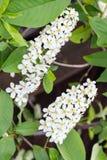 White flowers of bird cherry stock photos