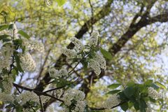 White flowers of bird cherry in spring. Spring background with white flowers of bird cherry in spring royalty free stock photo