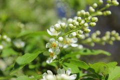 White flowers bird-cherry tree in the garden against green leaves stock images
