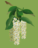 White flowers of bird-cherry tree and green leaves. Bird cherry blooms. Vector nature illustration Stock Photo