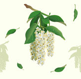 White flowers of bird cherry tree seamless background Royalty Free Stock Images