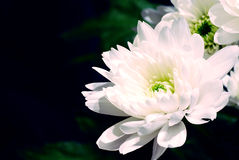 White flowers on black. Beautiful white flowers on black background macro Royalty Free Stock Photo