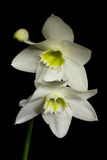White flowers on black background. Eucharis grandiflora (Eucharis amazonica), Amaryllidaceae royalty free stock photos