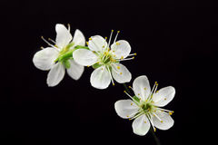 White flowers on black background Stock Photos