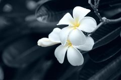 White flowers and black and white backgrounds represent grief