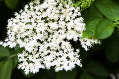 White flowers of the black elder (Sambucus) Stock Photos
