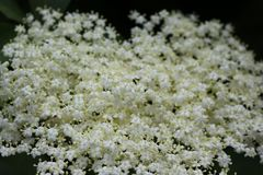 White flowers bloom on a elder bush in summer stock photos