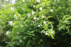 White flowers bloom on a jasmine bush in summer royalty free stock photography