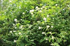 White flowers bloom on a jasmine bush in summer stock image