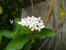 White flowers bloom welcome morning. White flowers bloom  morning. Wallpaper royalty free stock photo