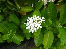 The white flowers are bloom on the morning. White flowers bloom morning nature outdoor stock images