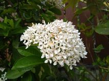 The white flowers are bloom. White flowers bloom nature outdoor stock images