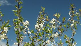 White flowers of a blooming cherry. Against a blue sky stock video footage