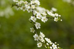 White flowers of blooming cherry on the tree branch Royalty Free Stock Photography