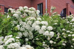 White flowers blooming in front of a red brick building stock photography