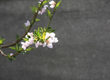 White flowers blooming fruit trees in spring close-up with blurred background stock image