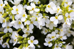 White Flowers Blooming in a Garden. Pretty White Flowers Blooming in a Garden Stock Images